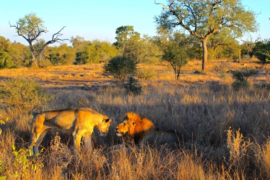 Face off Kruger National Park